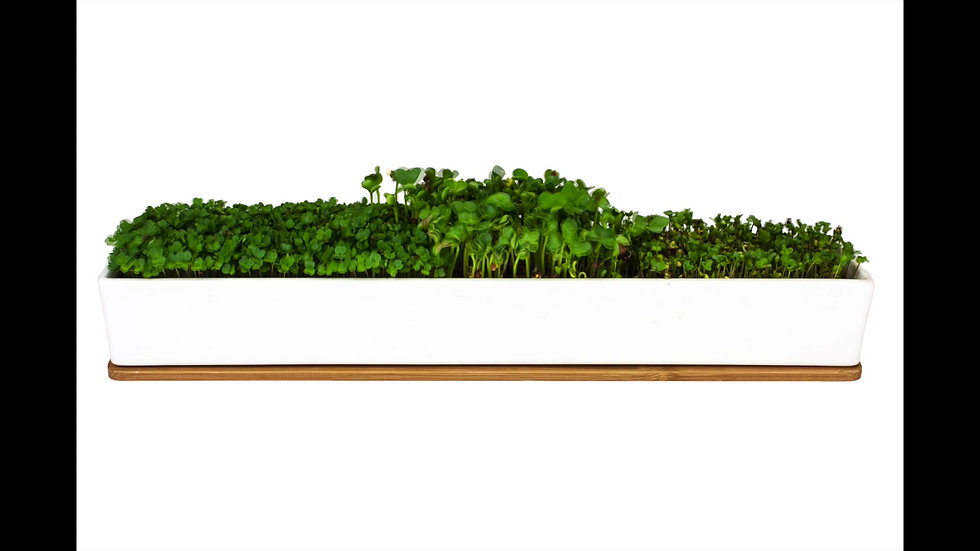 Microgreens Windowsill Kit