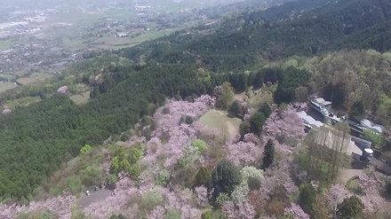桜の名所「平原公園」
