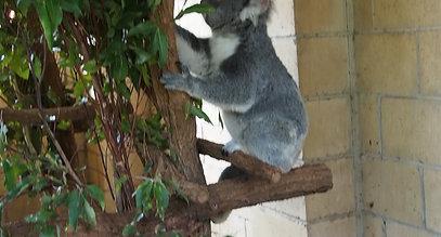 Koala Noises