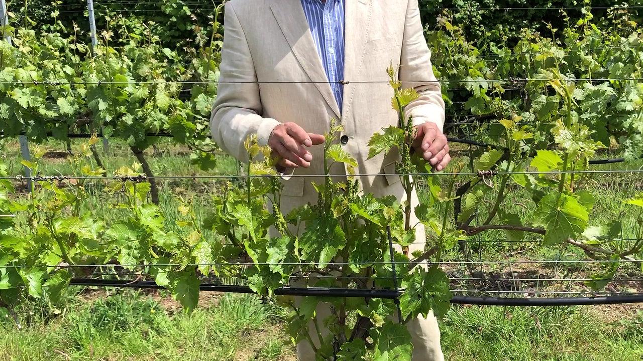 John showing vines in vineyard