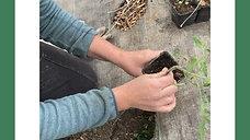 Comment Planter Ses Tomates !