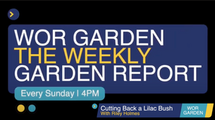 The Weekly Garden Report - Episode 2 -  Cutting back a lilac bush