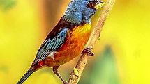 Sanhacu-papa-laranja