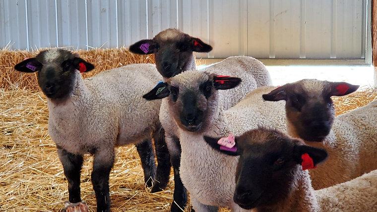 2020 Sale Lambs
