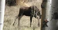 Moose  HWY125