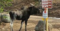 Moose scratch