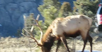 Elk at Olympus