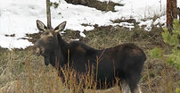 moose 5 mom