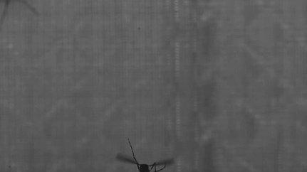 Landing mosquito