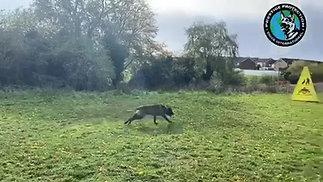 Belgian Shepherd Long Distance Attack Training