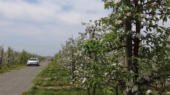 Apple blossom cluster counting