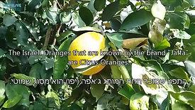 תפוזים - טיול בפרדס ועובדות מעניינות