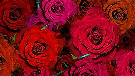 [P.J.H] RED ROSE