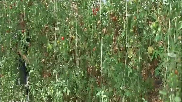 Le Chanvre plante aux multiples fonctions
